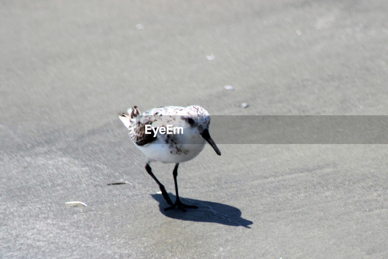 one animal, vertebrate, bird, animals in the wild, animal wildlife, day, nature, sunlight, no people, shadow, road, outdoors, land, high angle view, full length, street, focus on foreground