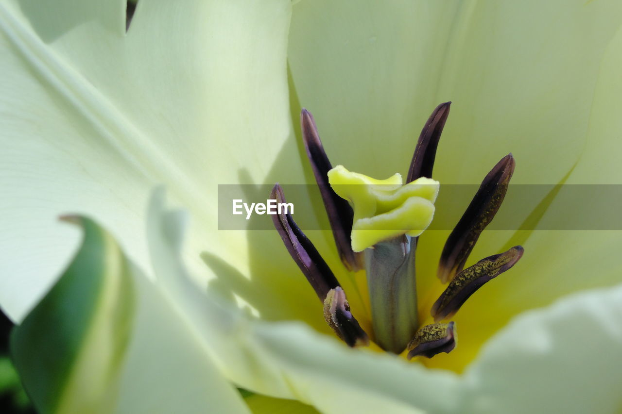 Macro shot of white tulip