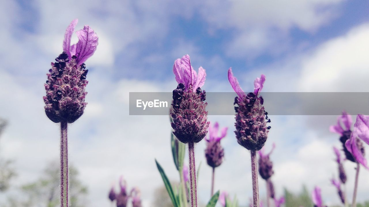 Close-Up Of Thistle Blooming Against Sky