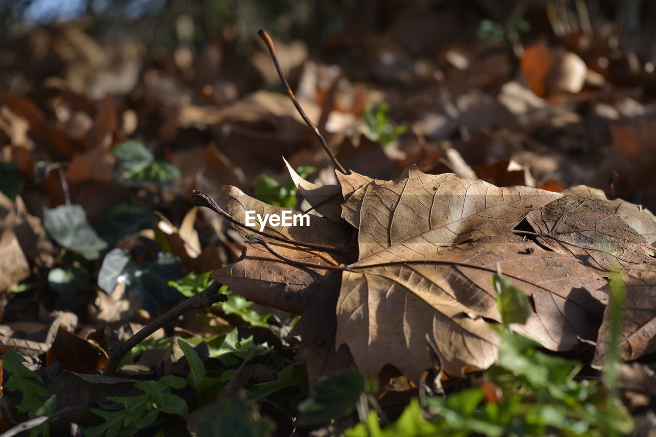 leaf, autumn, dry, change, nature, day, outdoors, no people, close-up, beauty in nature, fragility