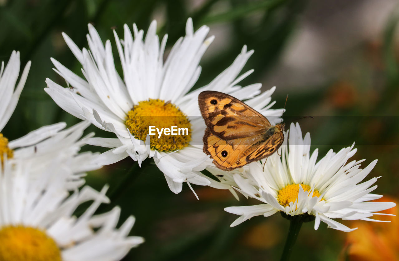 flower, flowering plant, fragility, animal wildlife, vulnerability, animal themes, beauty in nature, petal, animals in the wild, plant, insect, flower head, freshness, animal, invertebrate, one animal, growth, butterfly - insect, focus on foreground, close-up, animal wing, pollination, pollen, no people, butterfly