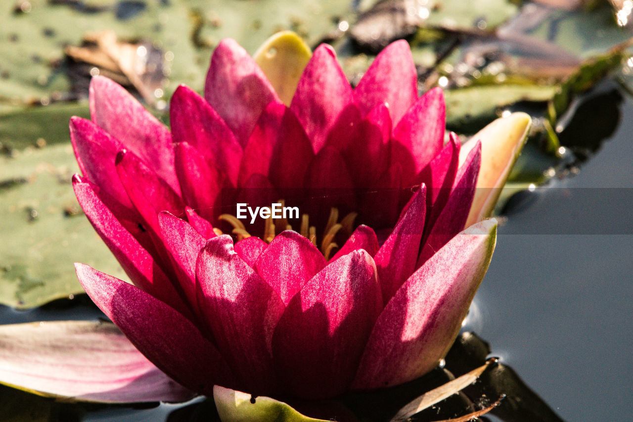flower, flowering plant, vulnerability, fragility, plant, petal, beauty in nature, freshness, growth, flower head, inflorescence, close-up, pink color, nature, focus on foreground, no people, day, pollen, water
