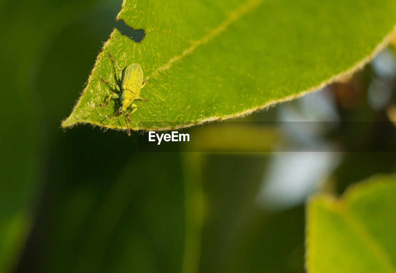 leaf, plant part, green color, close-up, plant, selective focus, growth, no people, nature, invertebrate, insect, beauty in nature, day, animals in the wild, one animal, outdoors, animal, animal wildlife, animal themes, focus on foreground, leaves