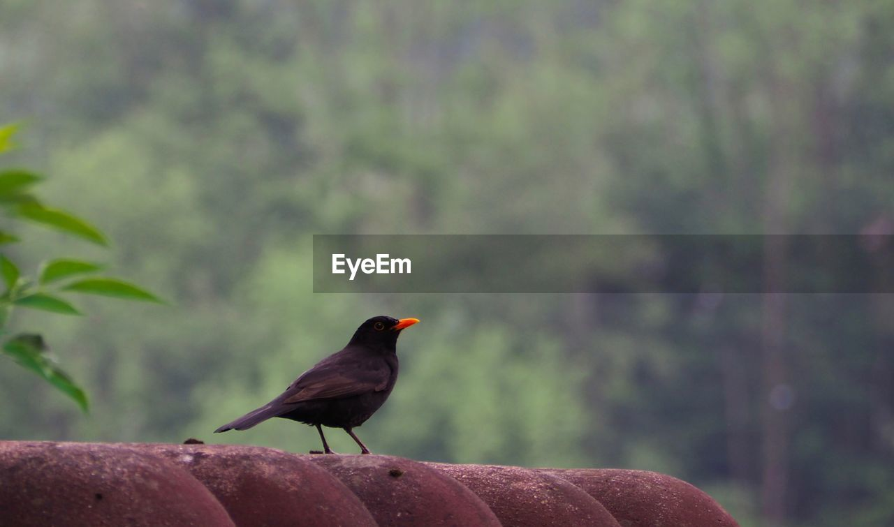 animal themes, animals in the wild, vertebrate, animal, animal wildlife, one animal, bird, perching, day, focus on foreground, no people, nature, outdoors, close-up, solid, rock, green color, rock - object, plant, tree, blackbird