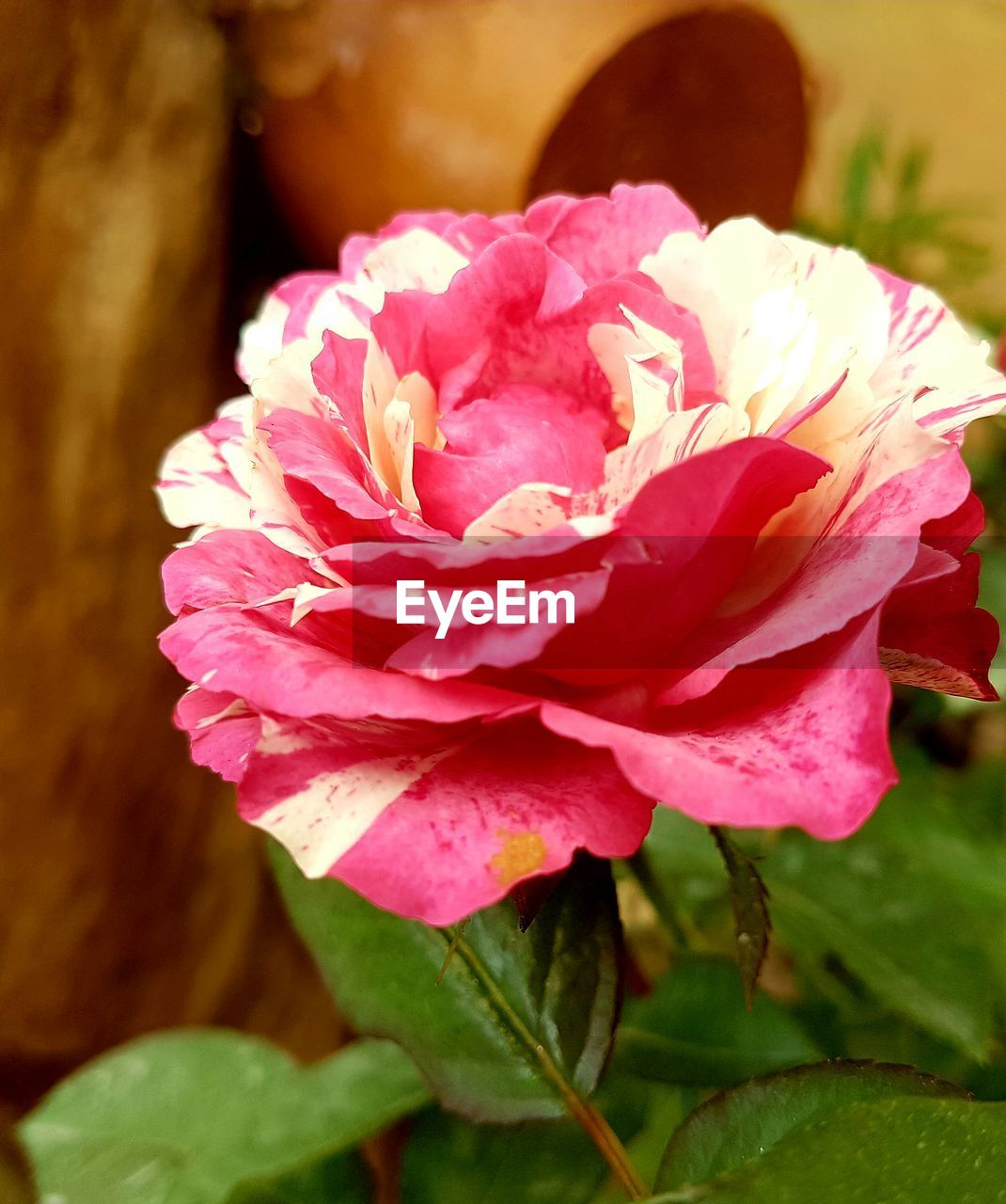 flower, nature, petal, pink color, beauty in nature, fragility, flower head, plant, no people, growth, close-up, rose - flower, leaf, freshness, outdoors, blooming, day