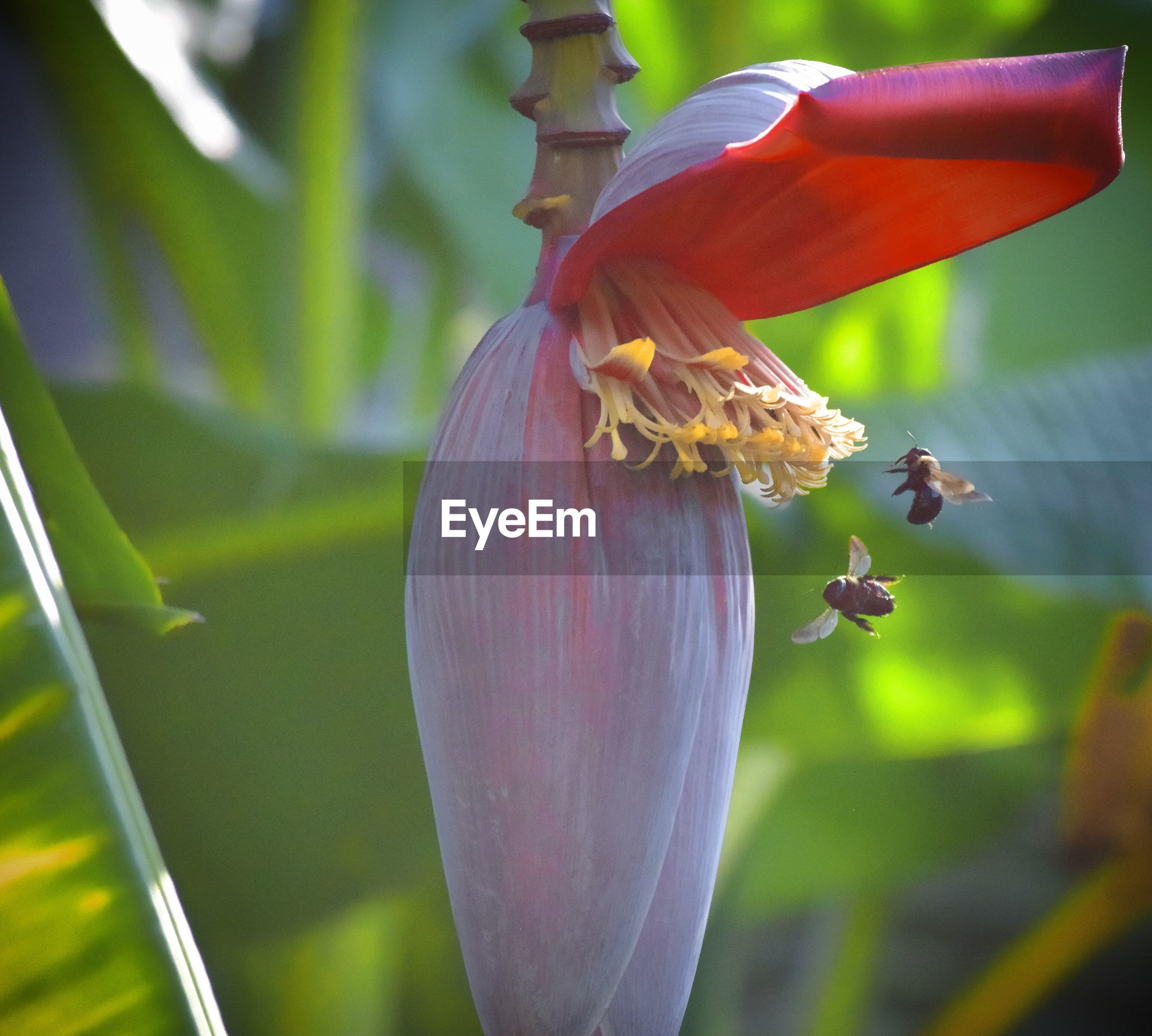 Close-up of bees near banana flower