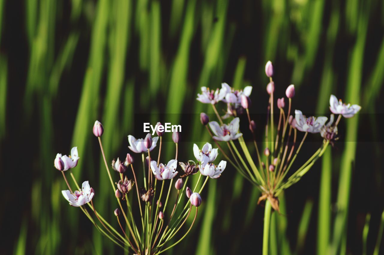 flower, flowering plant, plant, growth, beauty in nature, vulnerability, fragility, freshness, petal, close-up, focus on foreground, nature, day, no people, flower head, selective focus, green color, land, inflorescence, outdoors, purple, pollen, spring