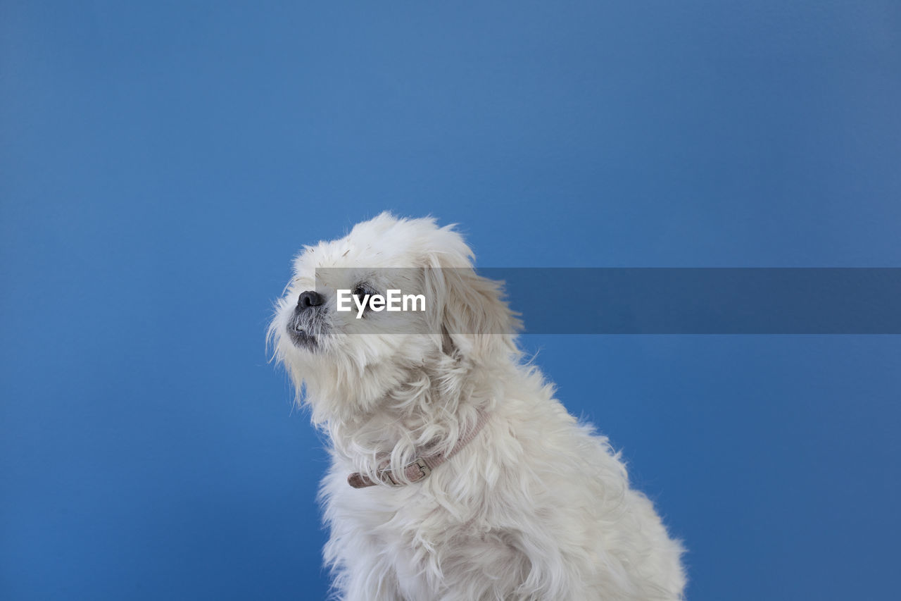 Side view of white dog against blue background