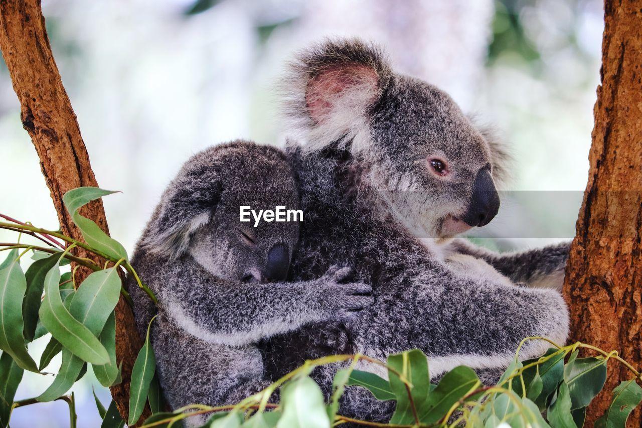 Close-up of koalas sitting on tree