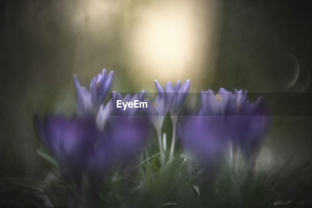 flowering plant, flower, vulnerability, plant, fragility, freshness, purple, beauty in nature, growth, close-up, petal, selective focus, nature, flower head, no people, crocus, inflorescence, day, iris, field