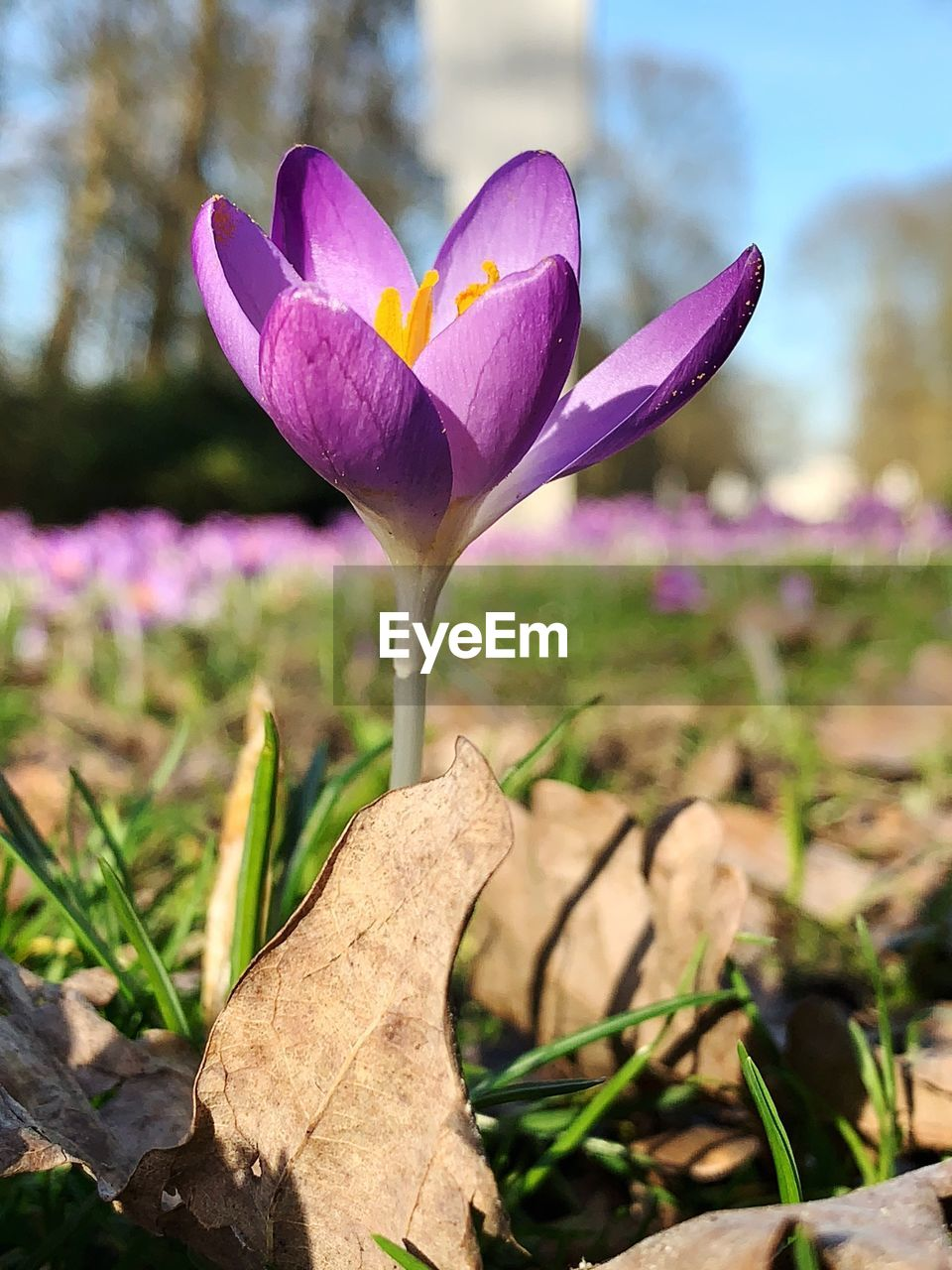 plant, flowering plant, flower, vulnerability, fragility, freshness, beauty in nature, growth, close-up, petal, crocus, nature, flower head, inflorescence, iris, day, leaf, focus on foreground, plant part, no people, outdoors, purple