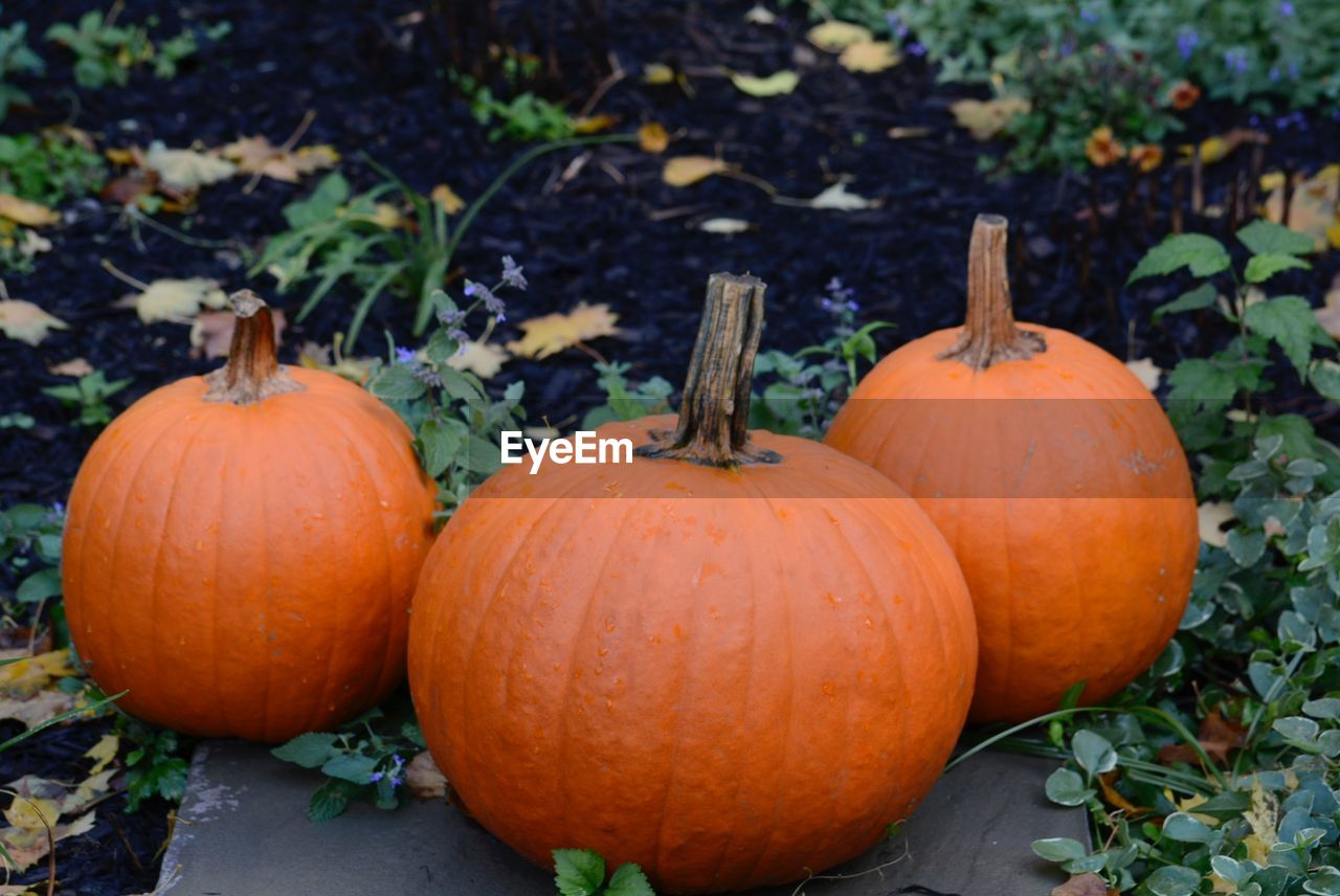 Close-Up Of Orange Pumpkins On Field During Autumn