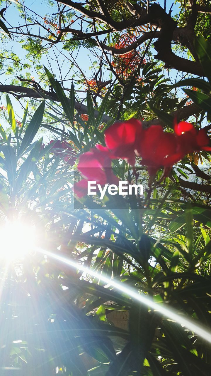 sunbeam, sunlight, growth, tree, nature, sun, lens flare, beauty in nature, no people, day, outdoors, low angle view, branch, red, leaf, freshness, close-up