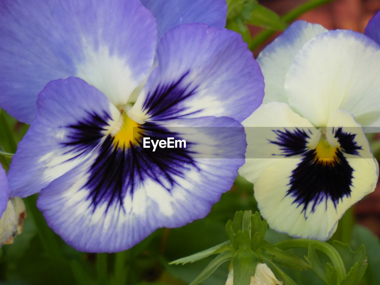 flower, petal, fragility, beauty in nature, flower head, freshness, purple, nature, growth, plant, close-up, outdoors, day, no people, pansy, blooming