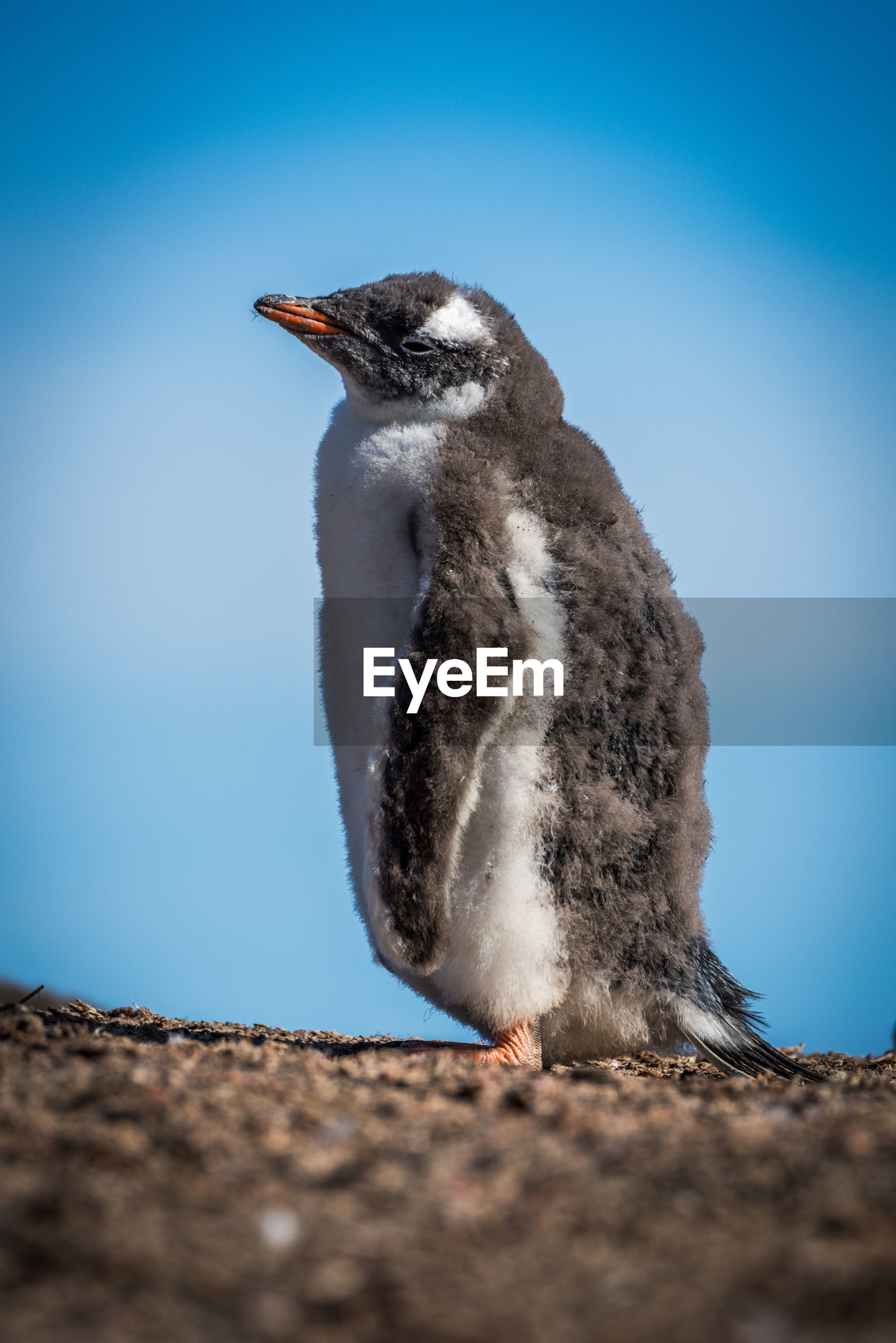 Close-up of young penguin on field against clear sky
