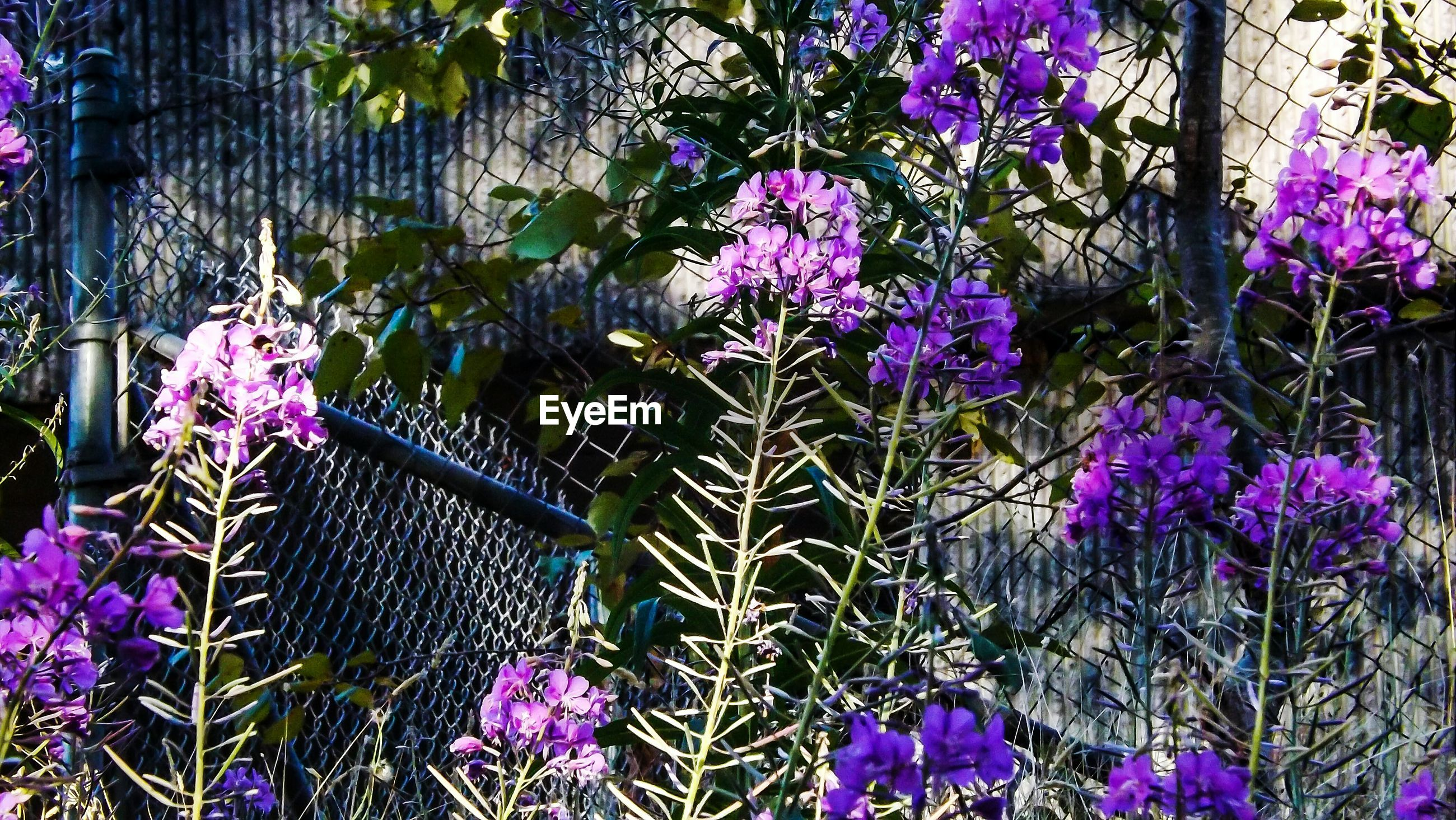 Purple flowers blooming against chainlink fence