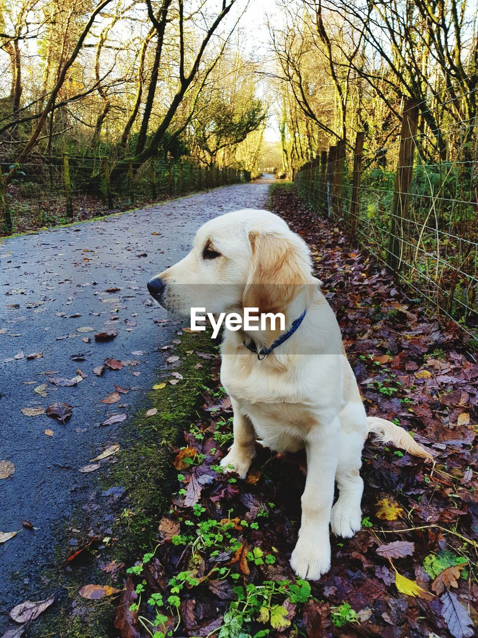 dog, pets, autumn, one animal, domestic animals, animal themes, tree, leaf, mammal, day, outdoors, nature, branch, labrador retriever, full length, no people, sitting