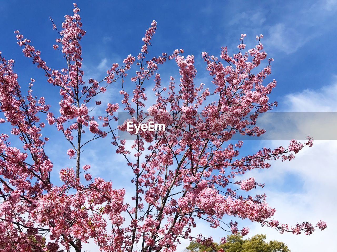 flower, tree, beauty in nature, blossom, low angle view, nature, fragility, branch, pink color, growth, sky, springtime, day, freshness, no people, outdoors, cloud - sky, tranquility, plum blossom, blooming, scenics, close-up, flower head