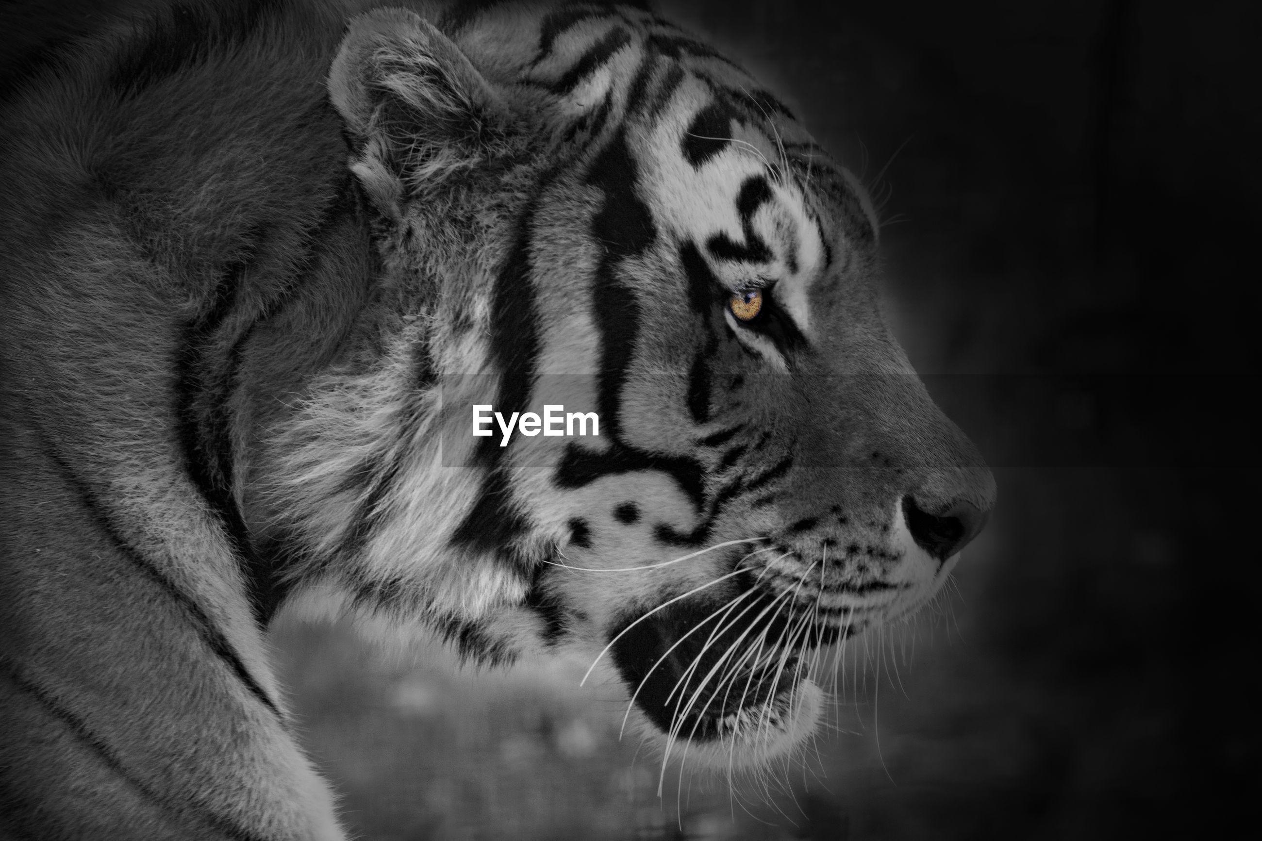 Close-up of tiger against black background