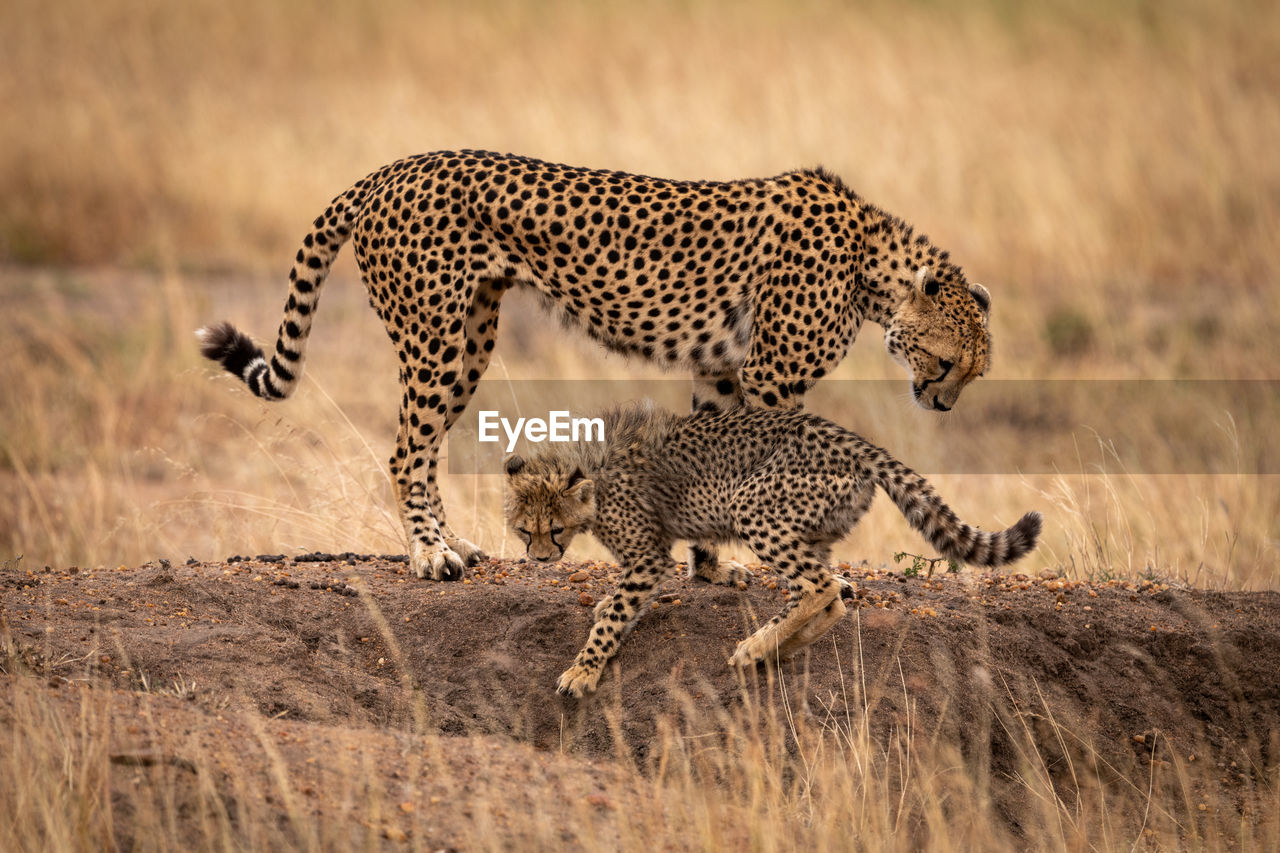 Cheetahs standing on rock in forest