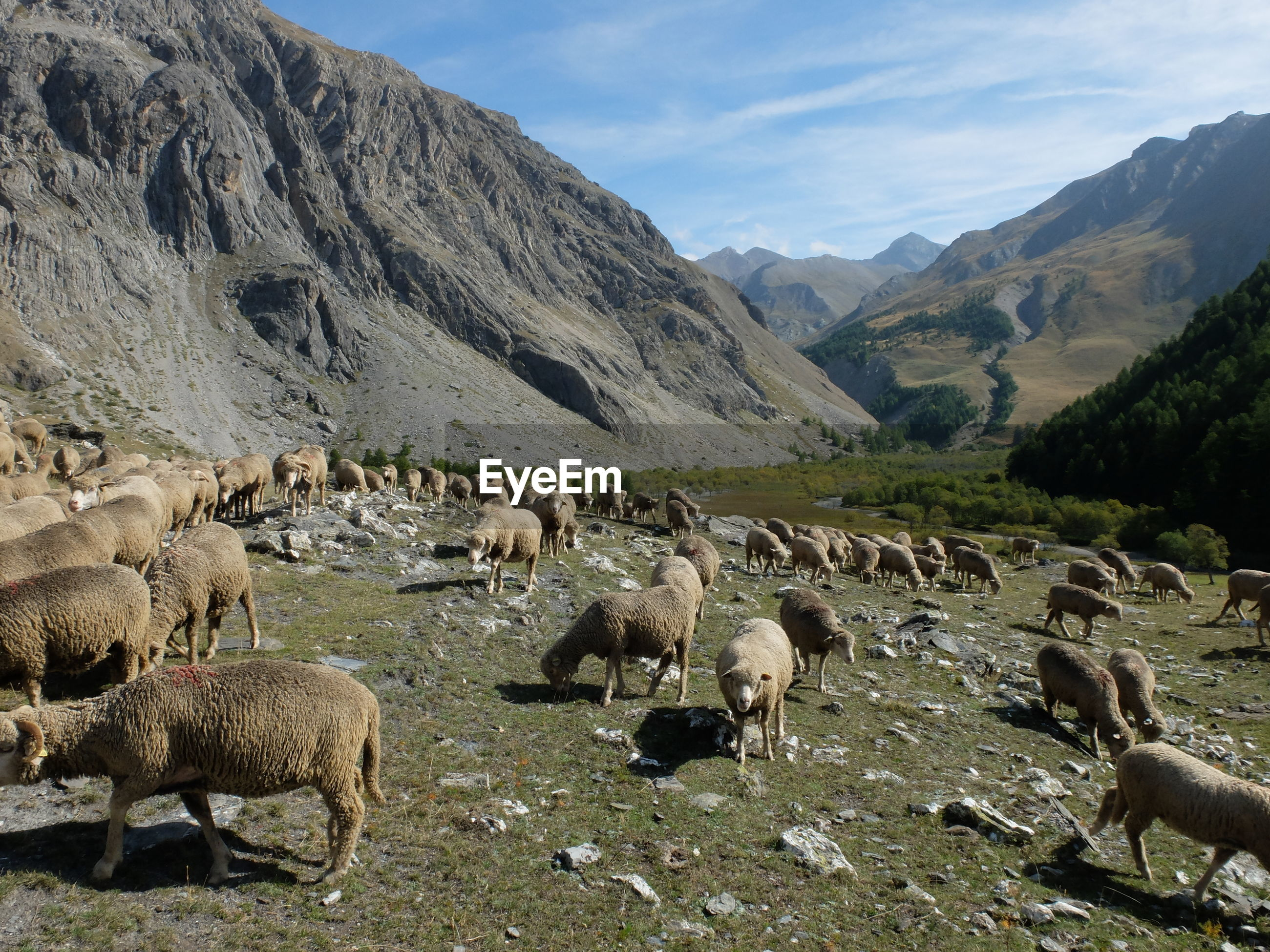 FLOCK OF SHEEP IN A MOUNTAINS