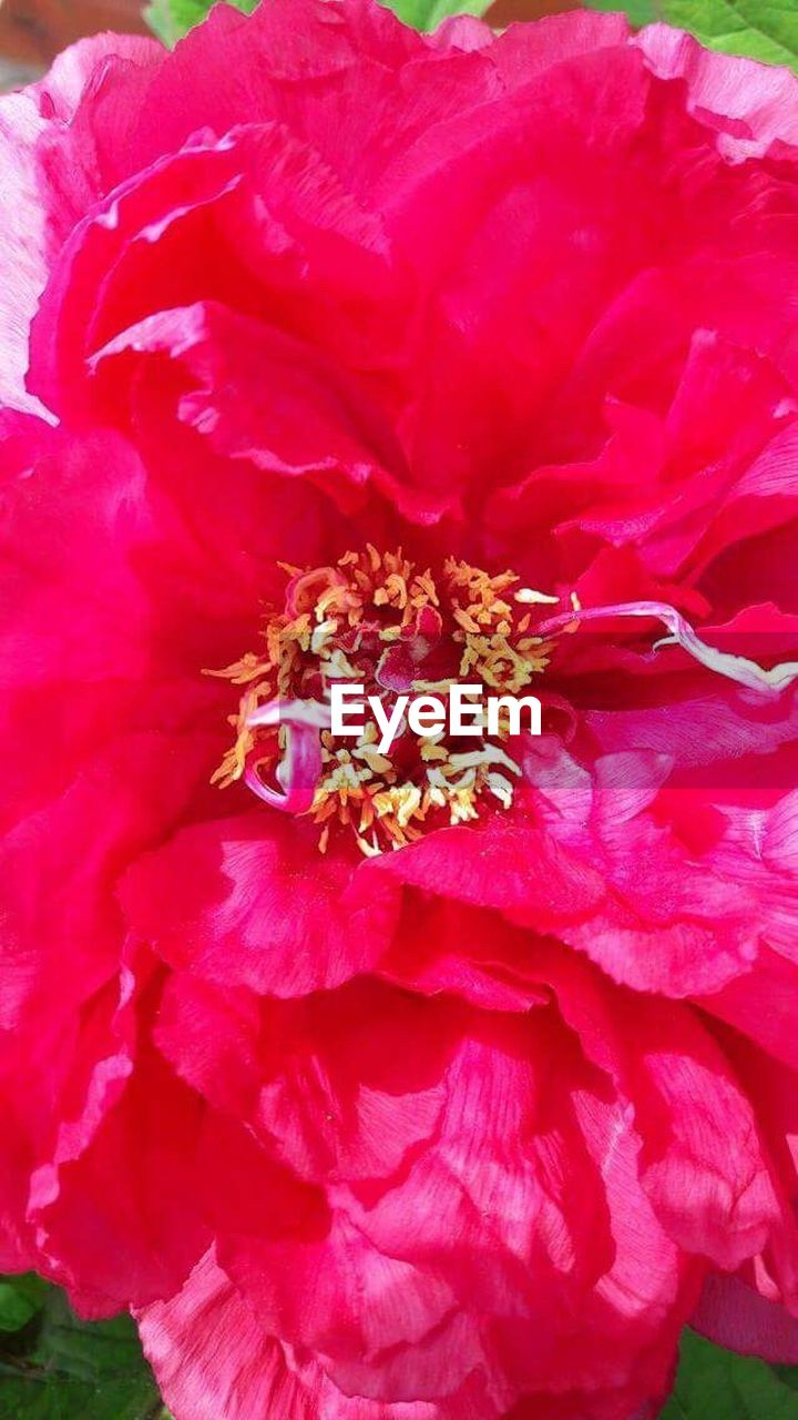 flower, petal, flower head, nature, beauty in nature, pink color, fragility, close-up, no people, growth, freshness, outdoors, day, peony, plant