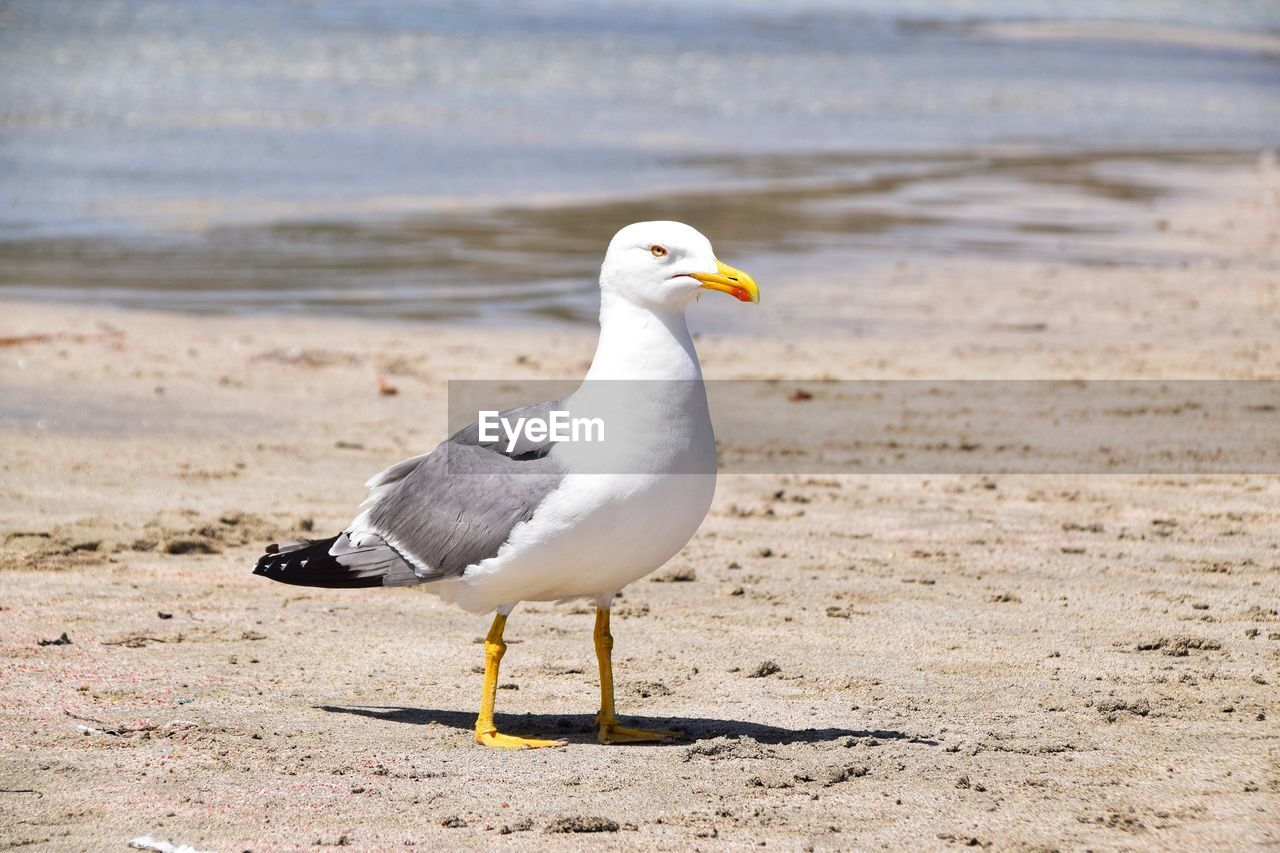 bird, animal, animal themes, vertebrate, animals in the wild, animal wildlife, land, beach, sea, one animal, seagull, sand, water, perching, nature, no people, day, full length, focus on foreground