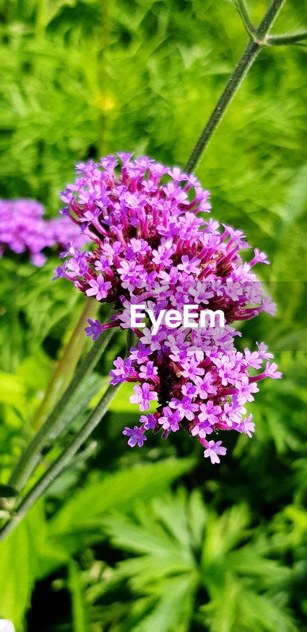 flowering plant, flower, plant, fragility, vulnerability, beauty in nature, freshness, growth, close-up, purple, nature, day, petal, pink color, no people, focus on foreground, botany, green color, flower head, selective focus, outdoors, lilac