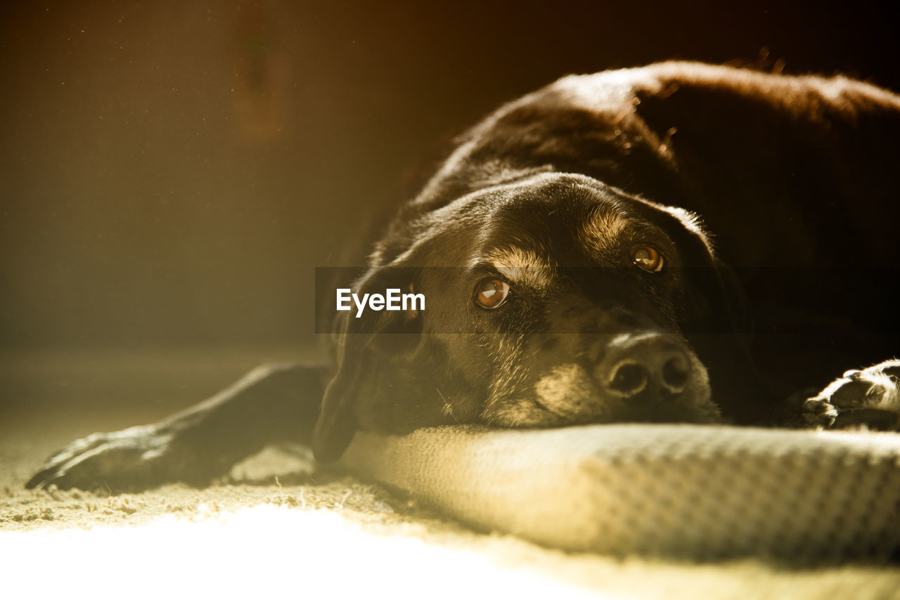 one animal, animal, animal themes, canine, domestic animals, dog, mammal, pets, domestic, relaxation, vertebrate, lying down, no people, close-up, resting, indoors, black color, portrait, selective focus, sunlight, animal head, napping