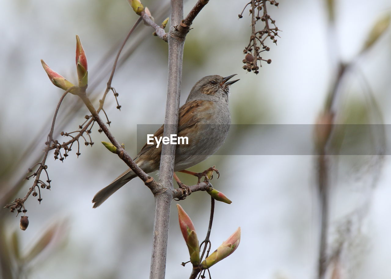 perching, bird, plant, animal, animal themes, branch, vertebrate, tree, animal wildlife, one animal, animals in the wild, no people, day, nature, focus on foreground, beauty in nature, outdoors, selective focus, close-up, sparrow