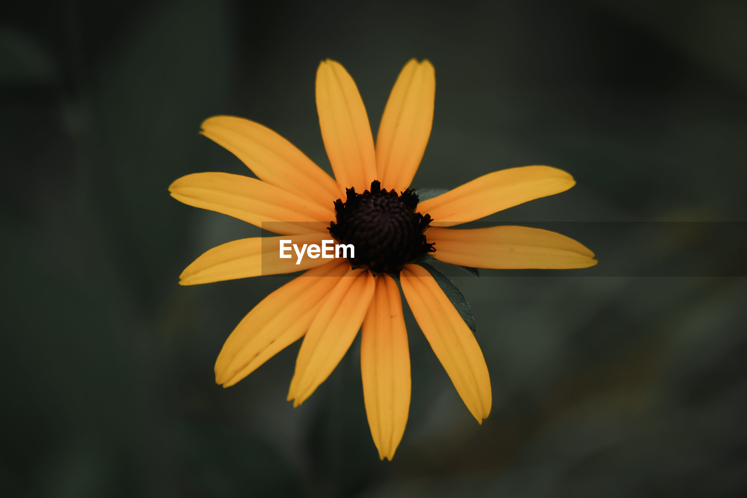 CLOSE-UP OF YELLOW FLOWER IN BLOOM