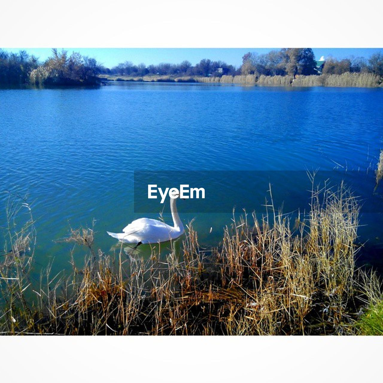 water, lake, one animal, animals in the wild, animal themes, nature, bird, day, outdoors, no people, beauty in nature, swan, tranquility, scenics, grass, great egret, sky