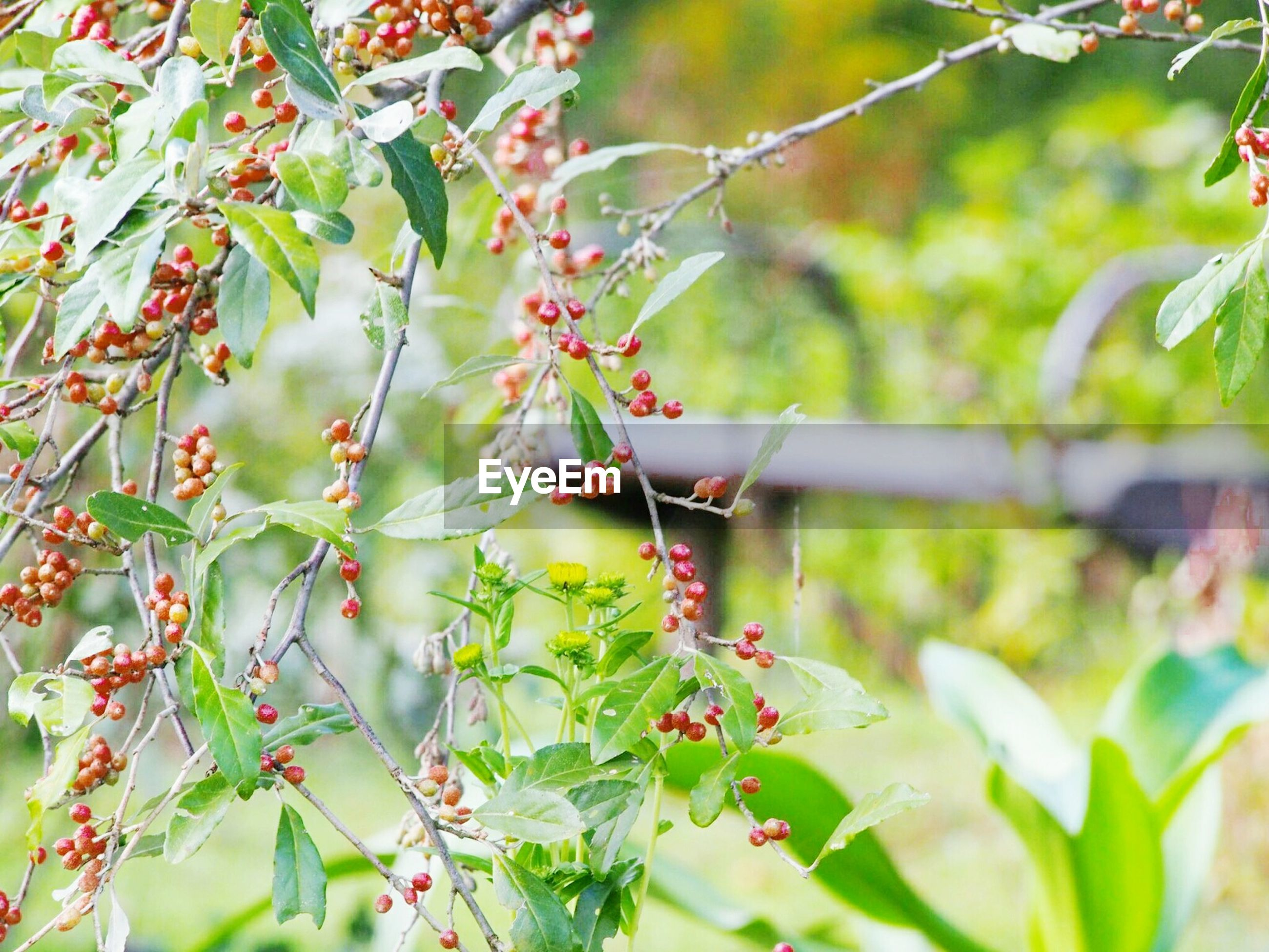 growth, nature, tree, focus on foreground, outdoors, close-up, beauty in nature, freshness, no people, plant, branch, fruit, day, twig, green color, leaf, rowanberry