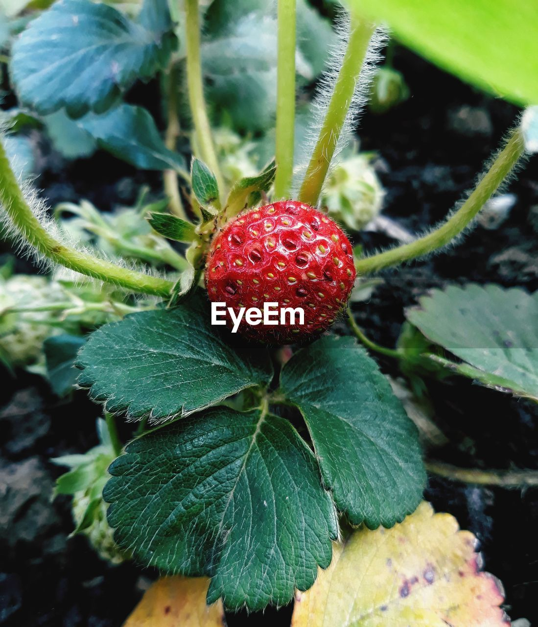 fruit, plant part, leaf, healthy eating, food, red, food and drink, berry fruit, growth, close-up, freshness, green color, nature, day, plant, wellbeing, no people, focus on foreground, outdoors, strawberry, ripe, sepal