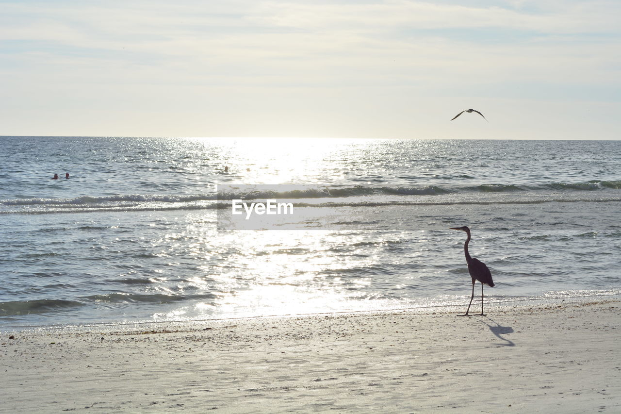 sea, horizon over water, sky, beach, animal themes, animals in the wild, water, horizon, animal, bird, animal wildlife, land, vertebrate, one animal, scenics - nature, beauty in nature, nature, flying, silhouette, outdoors, seagull