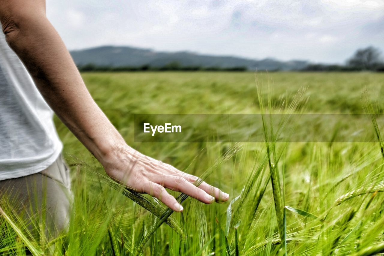 Midsection of man hand touching crops on field
