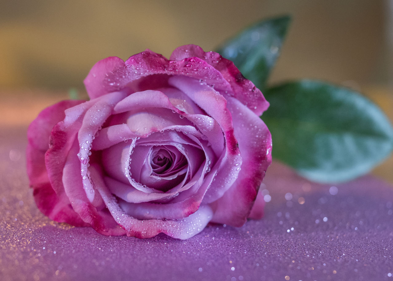 close-up, flower, beauty in nature, rose, rose - flower, freshness, petal, flowering plant, inflorescence, plant, flower head, pink color, no people, nature, drop, selective focus, vulnerability, water, fragility, purple, dew