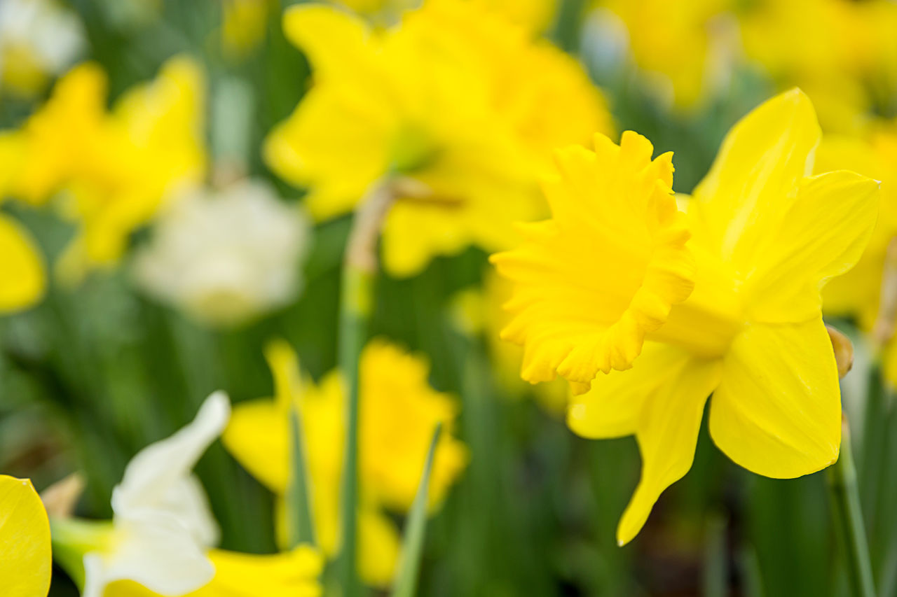 flower, flowering plant, yellow, beauty in nature, fragility, plant, vulnerability, freshness, growth, petal, close-up, flower head, inflorescence, focus on foreground, day, nature, selective focus, no people, daffodil, springtime
