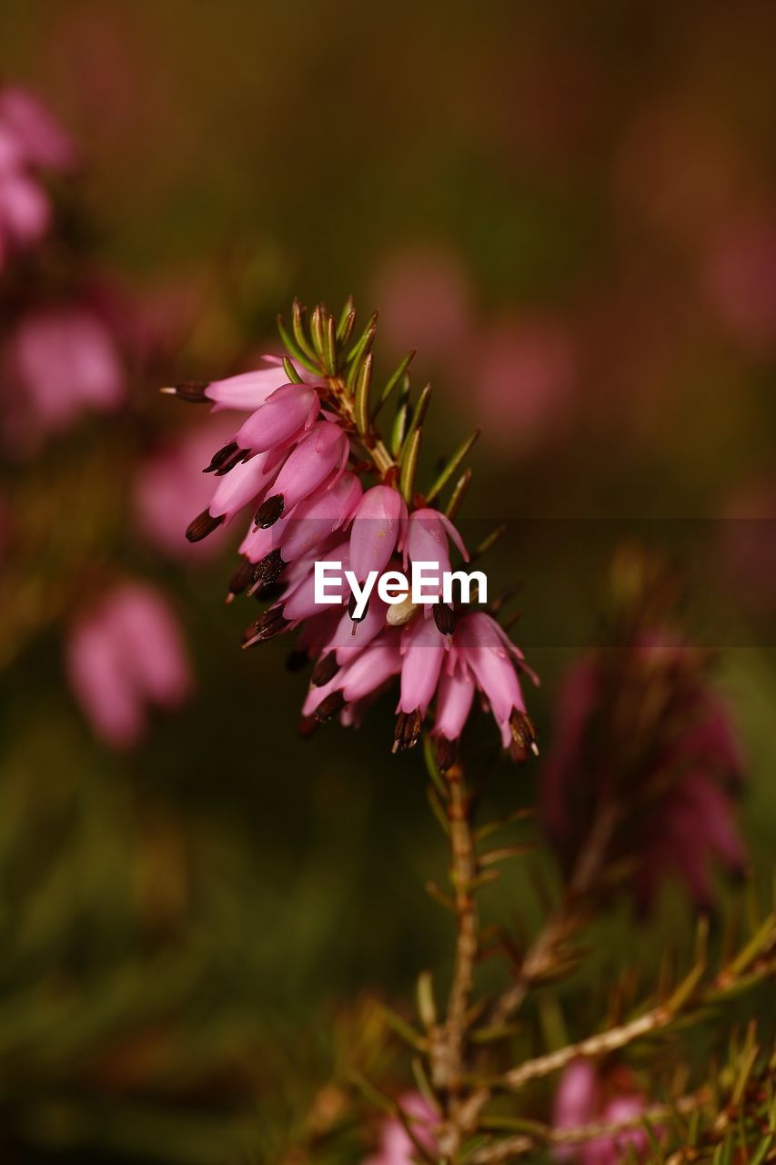 flower, pink color, nature, fragility, petal, growth, beauty in nature, no people, close-up, plant, focus on foreground, freshness, outdoors, day, flower head, blooming