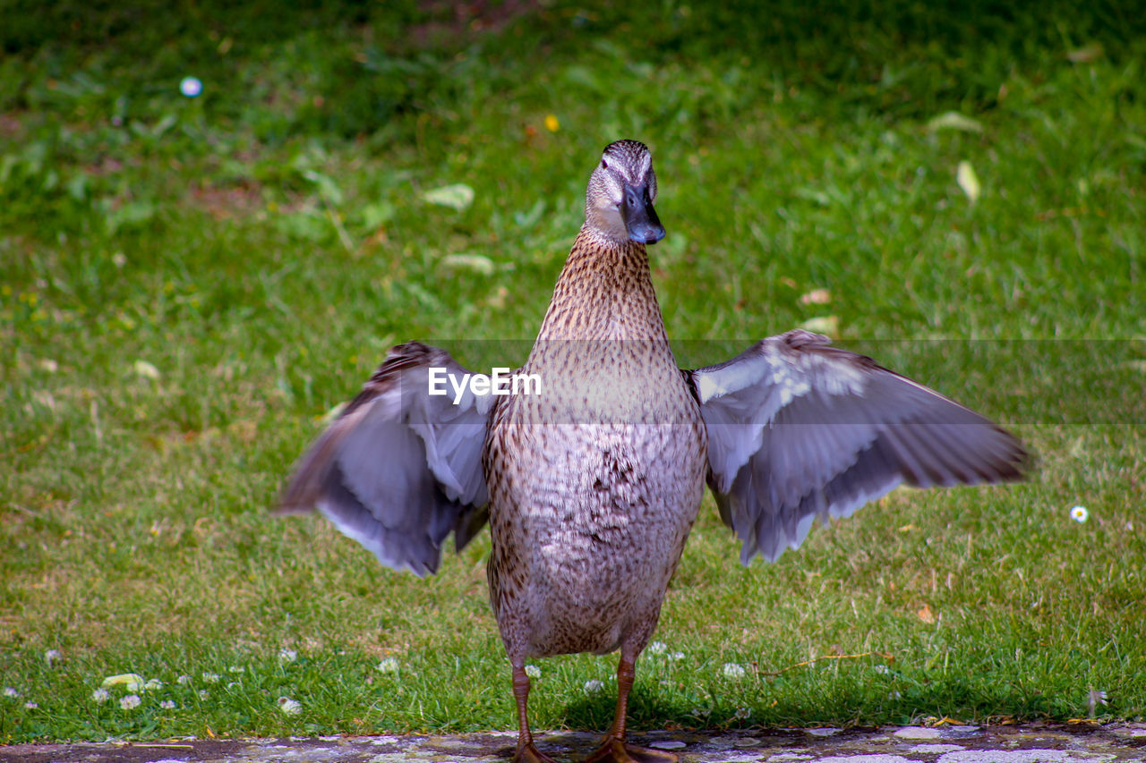 bird, animal themes, animal, vertebrate, animals in the wild, animal wildlife, one animal, grass, flying, field, land, plant, no people, spread wings, nature, day, green color, outdoors, focus on foreground, full length, flapping