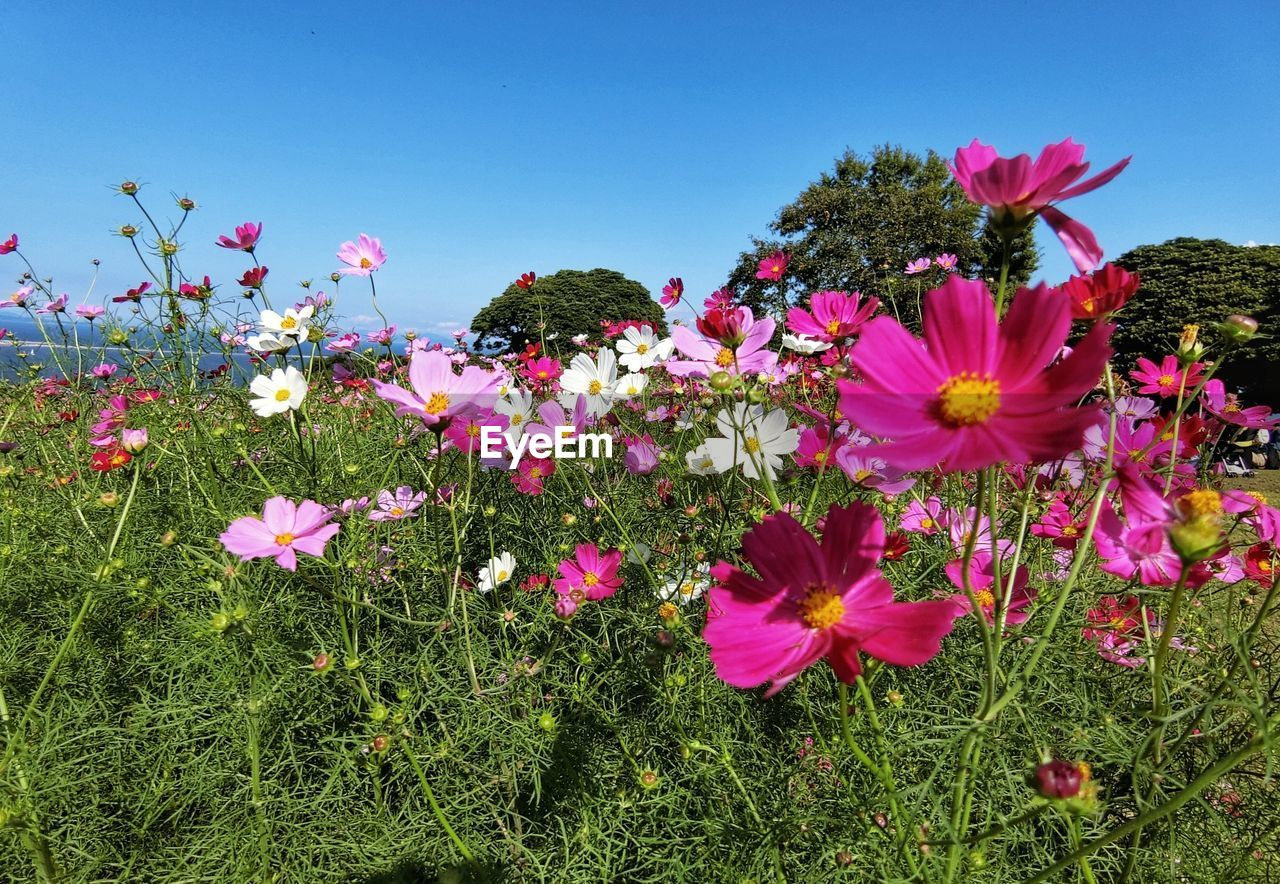 CLOSE-UP OF PINK COSMOS FLOWER BLOOMING ON FIELD