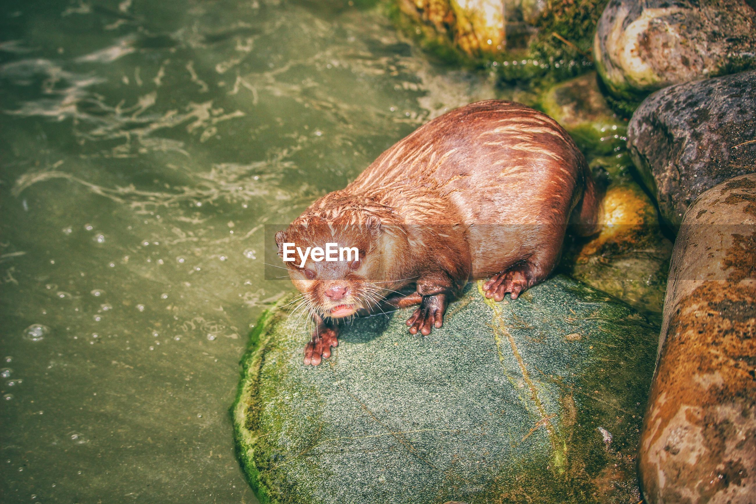 High angle view of european otter on rock by river