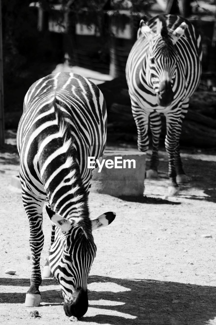 striped, zebra, animal wildlife, mammal, animal themes, animal, animals in the wild, group of animals, zoo, day, sunlight, no people, animals in captivity, vertebrate, animal markings, nature, outdoors, shadow, two animals, herbivorous