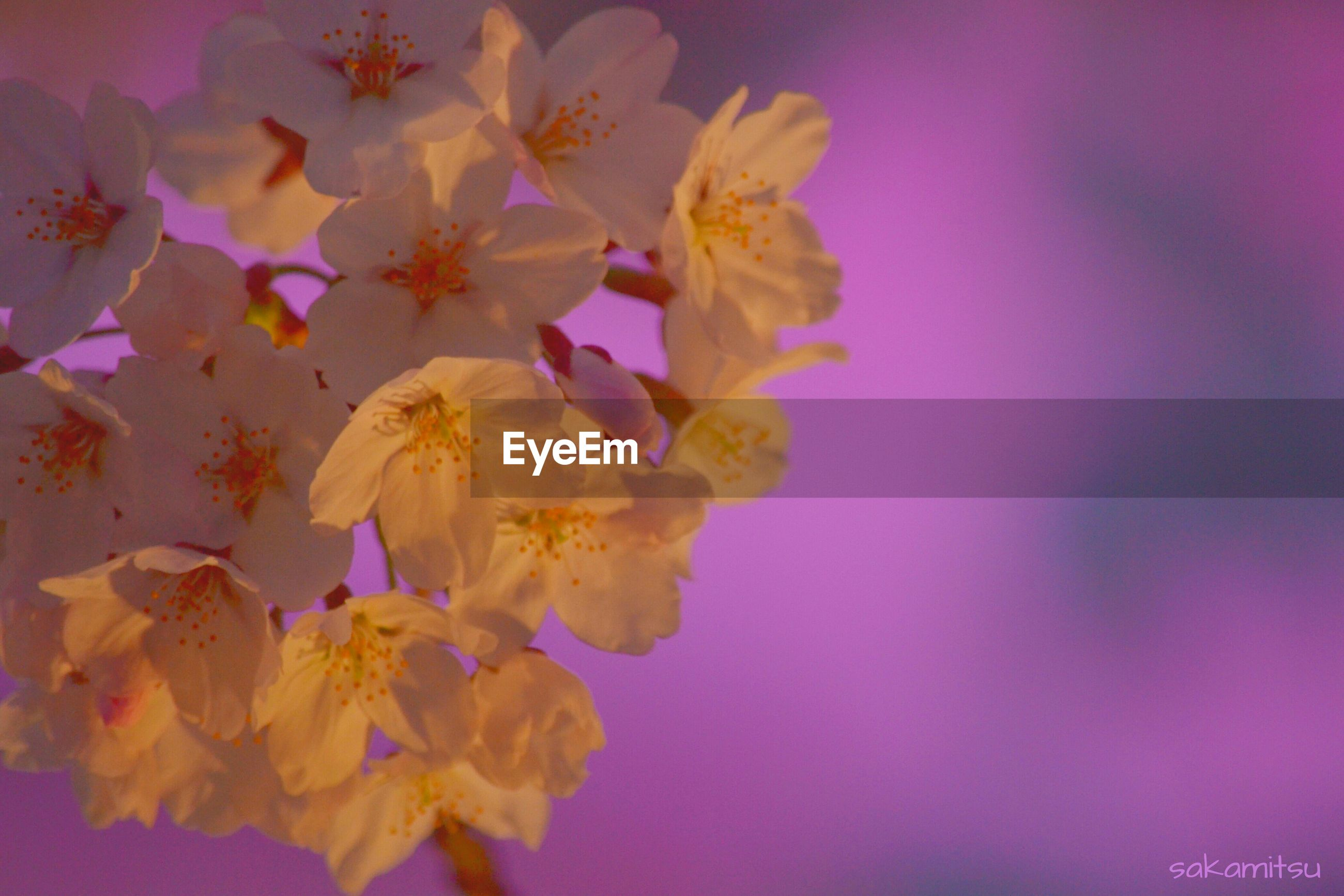 flower, petal, fragility, freshness, beauty in nature, flower head, nature, yellow, growth, blossom, blooming, close-up, in bloom, pink color, no people, vibrant color, purple, botany, low angle view, springtime
