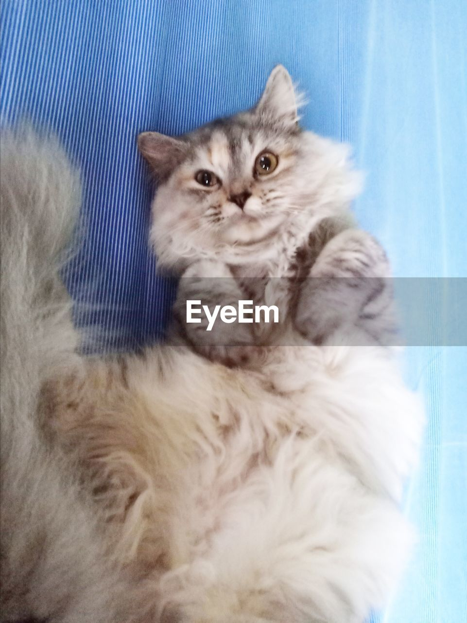 pets, domestic, animal themes, animal, mammal, domestic animals, domestic cat, cat, feline, one animal, indoors, no people, vertebrate, portrait, looking at camera, relaxation, looking, persian cat, whisker, softness, maine coon cat