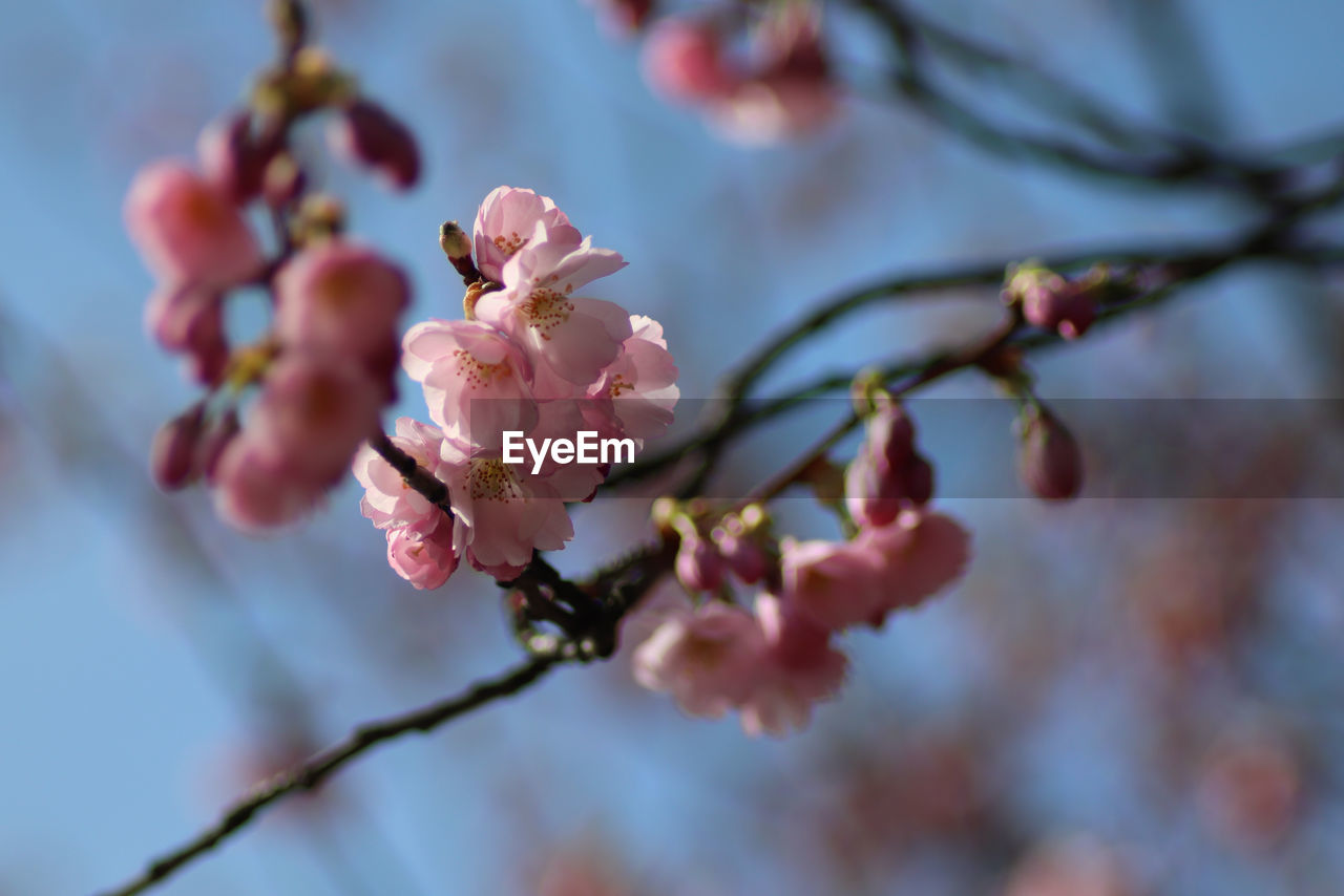 flowering plant, flower, plant, beauty in nature, growth, fragility, vulnerability, freshness, tree, close-up, branch, blossom, selective focus, springtime, petal, nature, day, focus on foreground, pink color, twig, no people, cherry blossom, flower head, cherry tree, outdoors, plum blossom, pollen, spring