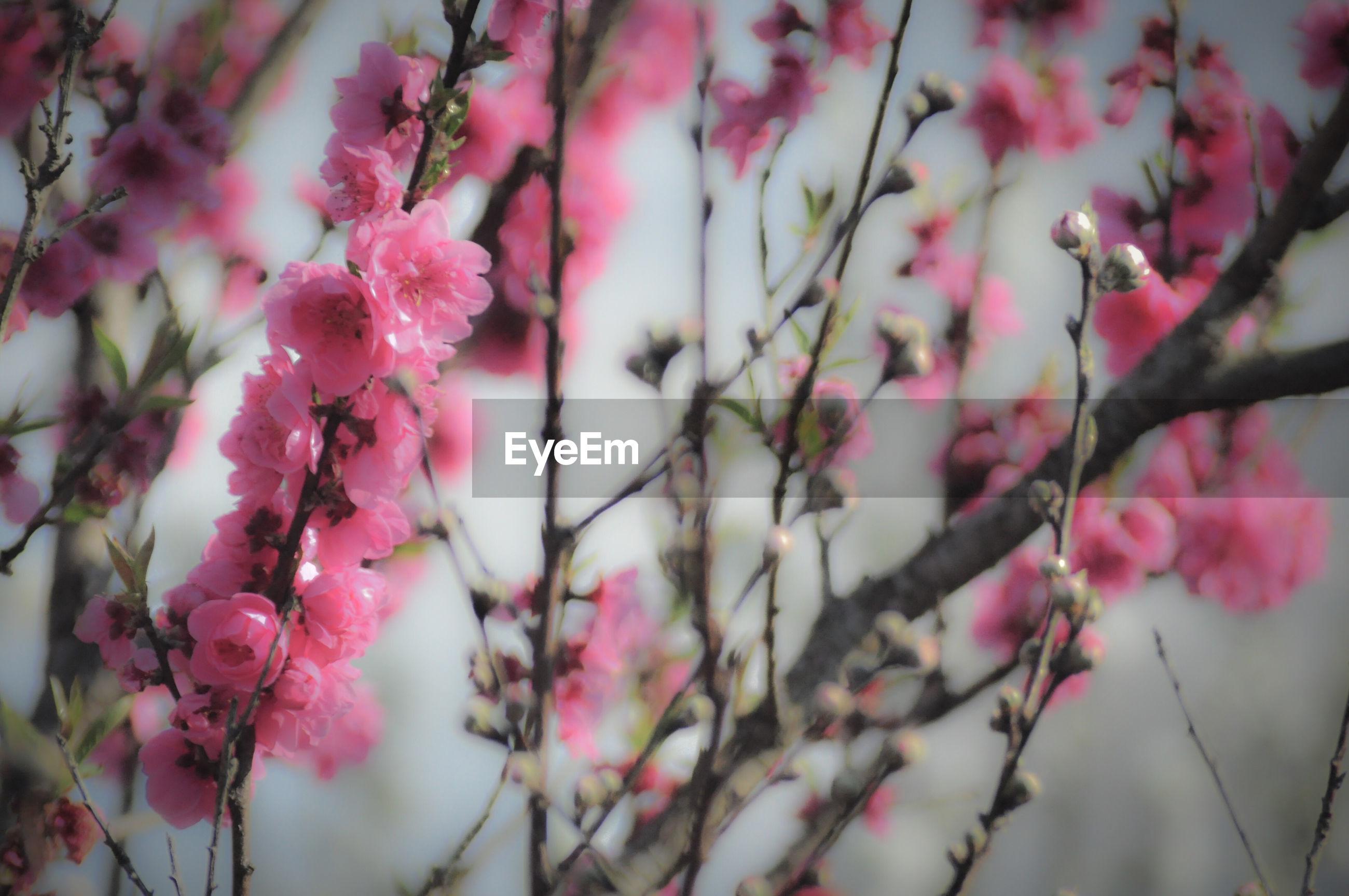 Close-up of pink plum blossom