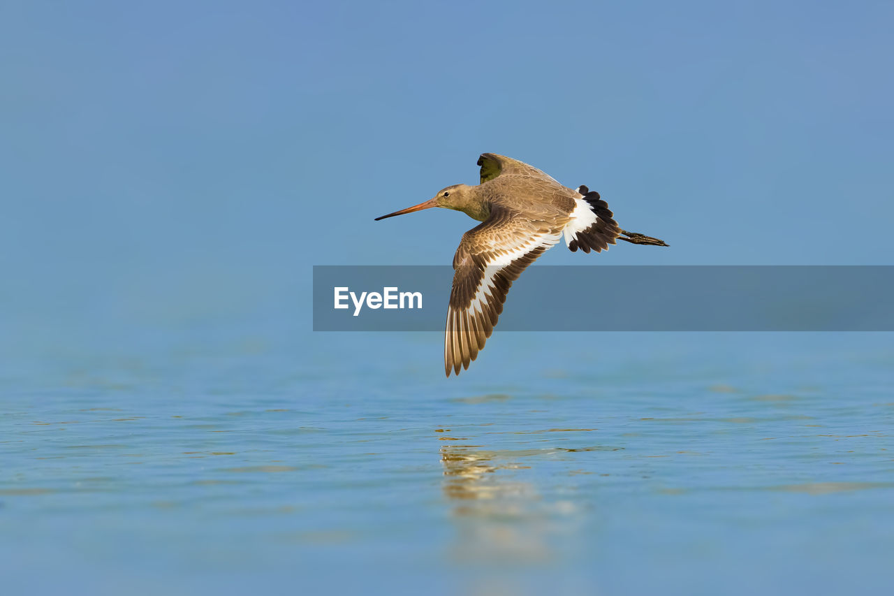 animal wildlife, animals in the wild, vertebrate, bird, animal themes, animal, one animal, water, flying, waterfront, spread wings, mid-air, nature, day, sky, clear sky, no people, sea, water bird, outdoors, seagull