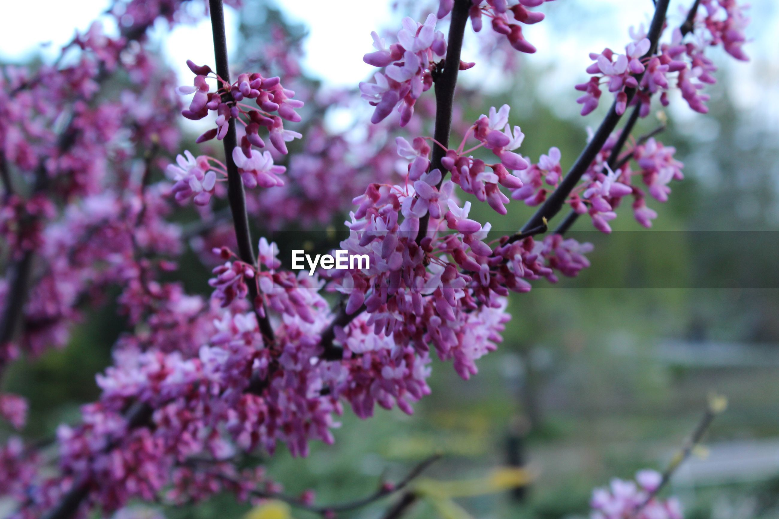 flower, freshness, pink color, growth, fragility, beauty in nature, focus on foreground, branch, tree, nature, cherry blossom, close-up, blossom, petal, cherry tree, blooming, in bloom, pink, springtime, twig