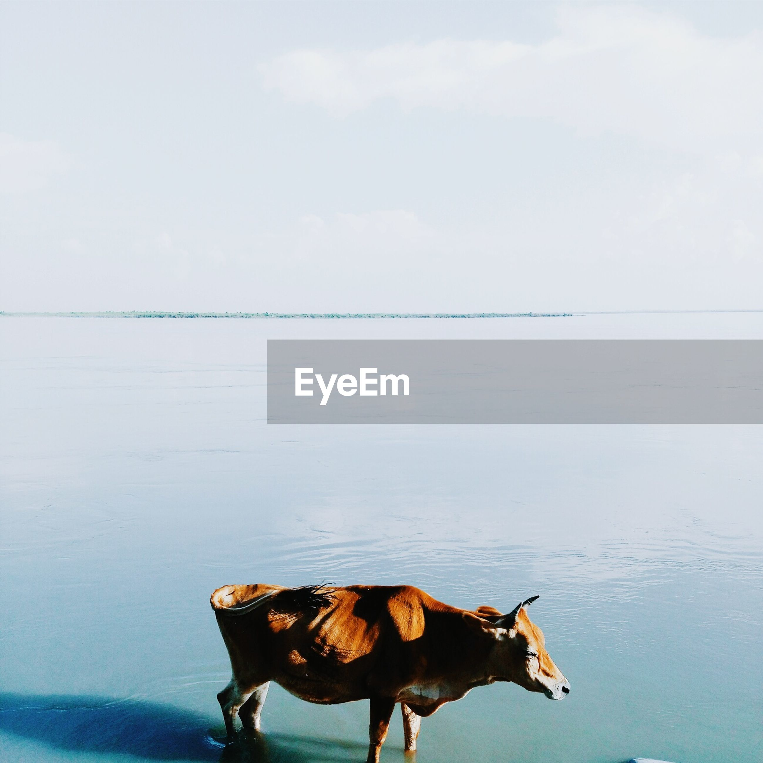 Side view of cow standing in lake against sky